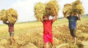 গজারিয়ায় কৃষকের ধান কেটে মাড়াই করে দিল ছাত্রলীগ